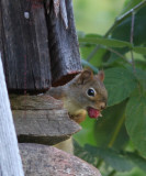 Red Squirrel Watching Me