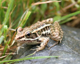 2 inch Pickerel Frog