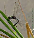 Dragonfly Laying Eggs on Cattail