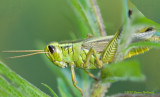 Close-up of a grasshopper