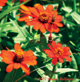 Zinnias with Meadowhawks