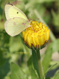 Butterfly and the Calendula