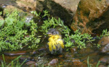 Yellow-breasted Chat - bathing