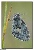 Marbled White (Melannargia galathea)