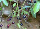 Berries For Cat