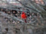 Cardinal....