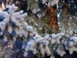 Fir tree in my back garden...