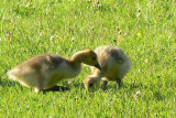 Canada Geese chicks.....