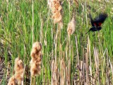 Red winged blackbird in flight.