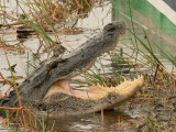 Alligator at Sawgrass Recreation Park, FL