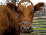 Cow on the Powell Farm