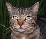 Sicilian Cat