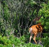 deer at Watch Hill