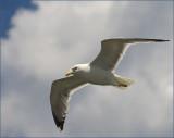 Fire Island Gull