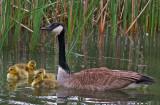 Goose & goslings