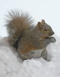 Snowy squirrel 100.jpg