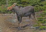 Algonquin Moose1005.jpg