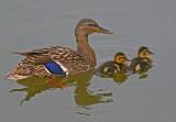 Female Mallard Duck & ducklings