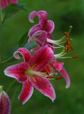 Cottage lilies1.jpg