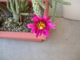 new cactus blooms, statring art 8:47 pm, Tuesday, 4/3/07 and May 9, 2007