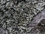 Aspkranslav - Phaeophyscia ciliata - Smooth shadow lichen