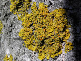 Vägglav - Xanthoria parietina - Common orange lichen