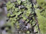Grön spiklav - Calicium viride - Green stubble lichen