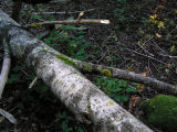 Asporangelav - Caloplaca flavorubescens - Bark sulphur-firedot lichen