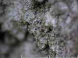 Grå nållav - Chaenotheca trichialis