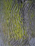 Gulmjöl - Chrysothrix candelaris - Gold dust lichen
