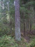 Blågrå mjöllav - Lepraria incana - Dust lichen