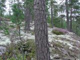 Flarnlav - Hypocenomyce scalaris - Common clam lichen