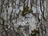 Bitterlav - Pertusaria amara - Bitter wart lichen