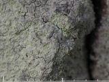Blemlav - Phlyctis argena