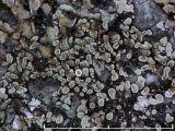 Kvartslav - Protoparmeliopsis muralis - Stonewall rim lichen