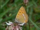 Vitfläckig guldvinge (hanne) - Lycaena virgaureae - Scarce Copper (male)