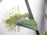 Grönsnabbvinge - Callophrys rubi - Green Hairstreak
