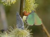 Tosteblåvinge och Grönsnabbvinge - Celastrina argiolus & Callophrys rubi - Holly Blue and Green Hairstreak