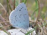 Tosteblåvinge - Celastrina argiolus - Holly Blue