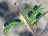 En bladbagge -Chrysolina geminata (eller agelastica alni - allövbaggen)