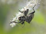 Lövträdlöpare - Rhagium mordax - Oak Longhorn Beetle