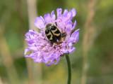 Humlebagge - Trichius fasciatus - Bee Beetle