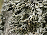 Pukstockslav - Hypogymnia tubulosa - Powder-headed tube lichen