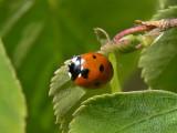 Sjuprickig nyckelpiga - Coccinella septempunctata - Seven-spot Ladybird