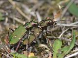 Grön sandjägare - Cicindela campestris - Green Tiger Beetle