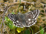 Smultronvisslare - Pyrgus malvae - Grizzled Skipper