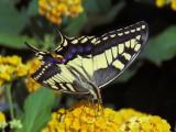 Makaonfjäril - Papilio machaon - Swallowtail