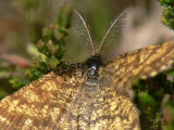Allmän ängsmätare (hane) - Ematurga atomaria - Common Heath (male)