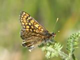 Väddnätfjäril - Euphydryas aurinia - Marsh Fritillary