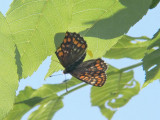 Asknätfjäril - Euphydryas maturna - Scarce fritillary